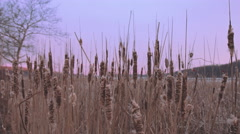 Cattails in Winter Closeup Morning Stock Footage