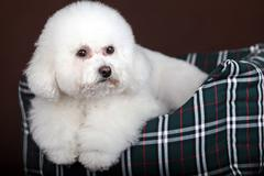 white poodle dog - stock photo
