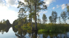 Gorgeous swamp scenery with tall mossy trees and glassy water Stock Footage