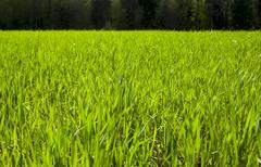 Agriculture. cereals. Spring - stock photo