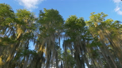 Romantic spanish moss in cypress swamp tree canopies above water - stock footage