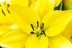 yellow lily ,  spring - stock photo