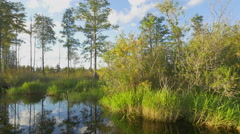 Gorgeous swamp scenery with tall mossy trees and lush marsh - stock footage
