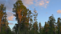 Beautiful green cypress swamp trees covered in spanish moss - stock footage