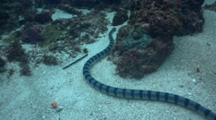 Banded sea krait (Laticauda colubrina) moving with the waves - stock footage
