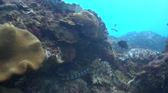 Banded sea krait (Laticauda colubrina) swimming up Stock Footage