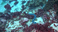 Banded sea krait (Laticauda colubrina) swimming - stock footage