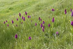 Marsh orchid Dactylorhiza Osmanica in a meadow orchid Agri province Anatolia Stock Photos