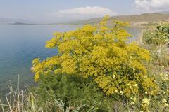 Genuine fennel Foeniculum vulgare Lake Van Anatolia Turkey Asia Stock Photos