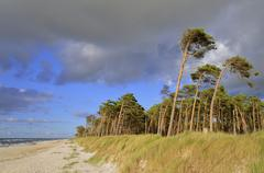 Scots pines Pinus sylvestris on the west beach wind bent trees Darss Western Stock Photos