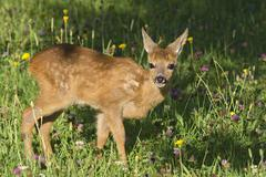 Tame Fawn standing in a flower meadow Tyrol Austria Europe Stock Photos