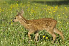 Tame Fawn in a flower meadow Tyrol Austria Europe Stock Photos
