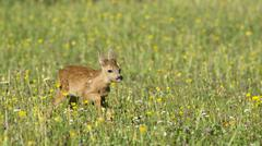Tame Fawn running across the flower meadows Tyrol Austria Europe Stock Photos