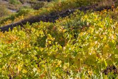 Winery Forest vineyard agriculture harverst autumn Troodos mountains Cyprus - stock photo
