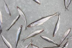 Fresh smelt fish on the snow top view Stock Photos