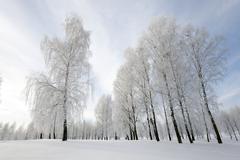 trees in winter - stock photo