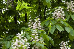 blooming chestnut, spring - stock photo