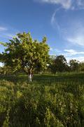 Apple orchard,  garden Kuvituskuvat