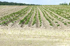 Potato field, spring Stock Photos