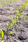 Field of green corn - stock photo