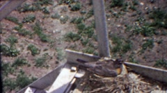 1958: Robin bird nest nursing blue eggs fire escape building. Stock Footage