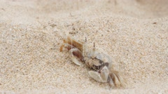 Horseshoe crab burying itself in sand Stock Footage