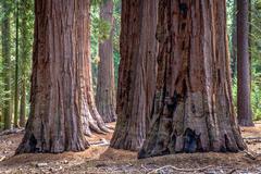 Cluster of giant redwood tree trunks, Yosemite national park, California, USA Stock Photos