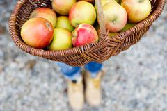 Basket full of homegrown apples, high angle - stock photo