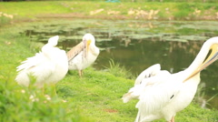 A group of pelicans resting near the pond Stock Footage