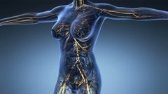 Science anatomy of human body in x-ray with glow blood vessels on blue Stock Footage