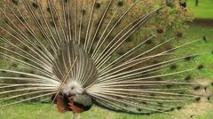 Beautiful  peacock turning around Stock Footage