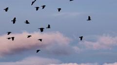 Flock of birds migration Stock Footage