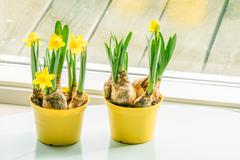 Daffodils in flowerpots at a window - stock photo