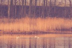 Birds in a lake with rushes - stock photo