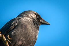 Western Jackaw close-up on blue background - stock photo