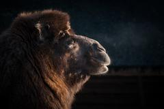 Close-up of a camels head - stock photo