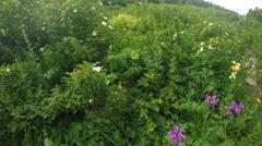 Flowering bushes of wild rose Stock Footage