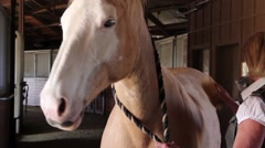 Beautiful Blonde Brushes Palomino Horse 2 Stock Footage