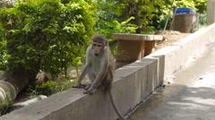 Wild monkey in Sri Lanka Stock Footage