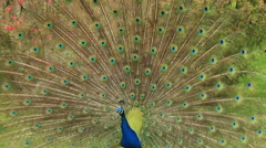 Close-up portrait of beautiful peacock Stock Footage