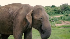 Wild old elephant chewing Stock Footage