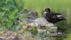 Black Duck Cleaning its Feathers at Pond Stock Footage