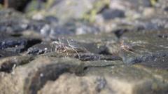 Stone crab on the coastal rocks, sri lanka Stock Footage