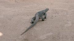Komodo dragon varanus Stock Footage