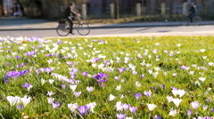 Crocus field bicycle rider park Stock Footage