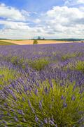 Lavender cultivation, farming and harvesting - stock photo