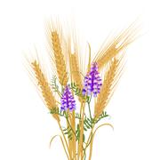 Ears of wheat tied with wildflowers bird vetch - stock illustration