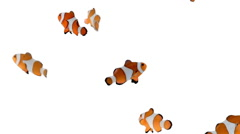 A school of clownfish swimming playfully around an aquarium on white background. - stock footage