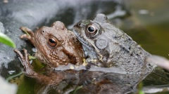 Two Common Frogs Mating in a Garden Pond Stock Footage