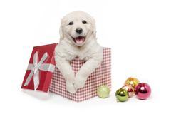 Christmas Gift Golden Retriever Puppy Stock Photos